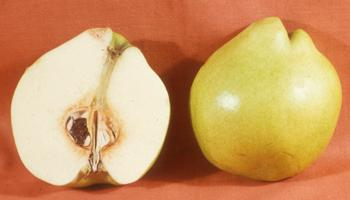 Figure 7c. Longitudinal section of an asymmetrical quince fruit with only half the total ovules fertilized. Photo source: Ted DeJong.