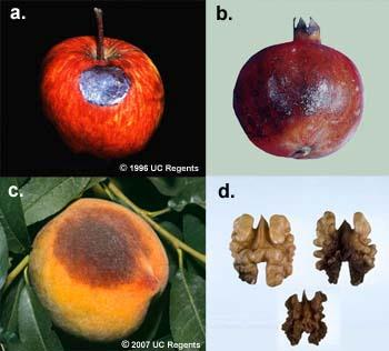 Figure 6. Images of sunburned apple (a), pomegranate (b), peach (c) and walnut (d).