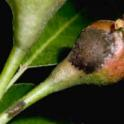Pear scab lesions. Photo by JKClark, UC Statewide IPM Project © UC Regents