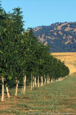 Walnuts in California - Fruit & Nut Research & Information