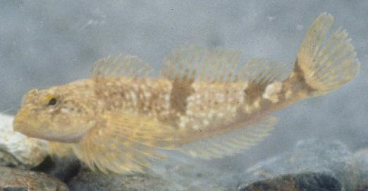 Coastrange sculpin, approx. 85 mm (3.5