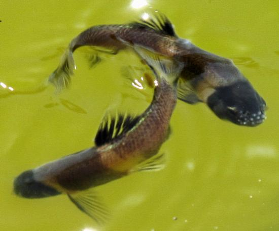 Fathead minnow, males in breeding colors. Location: Pond in mountains above Anza, CA. Date: 2012. Photo by Michael McGrady. Note tubercles on snout.