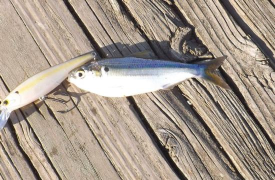 Threadfin Shad caught and released in the South Fork Mokelumne River, San Joaquin County. 5/13/15. Photo by Gary Riddle.
