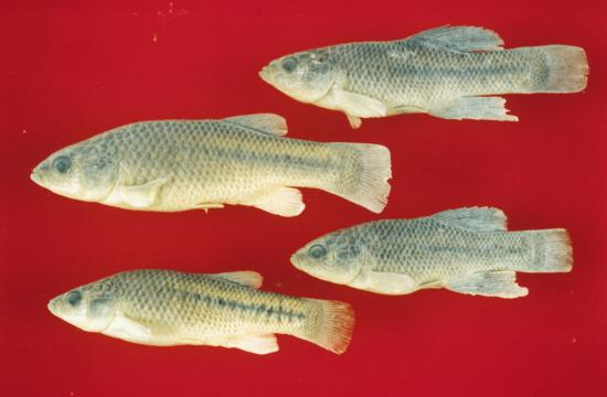 California Killifish. Prolonged finned individuals (Males) and larger, shorter-finned fish (Females). Photo from Camm C. Swift. Museum of NH, L.A. Co