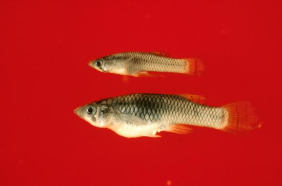 Western Mosquitofish Male (Top) and Female (Bottom). Photo from Camm C. Swift. Museum of Natural History Los Angeles County