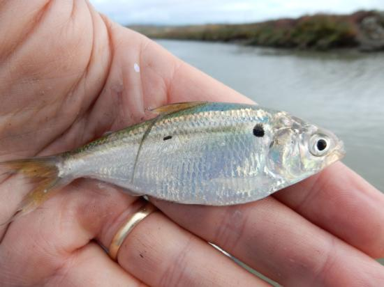 Threadfin Shad caught in Lower Coyote Creek, California (Santa Clara County) on 6 November 2016 by Jim Hobbs.  Photo by Jim Ervin.