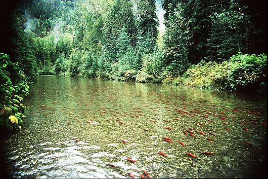 Kokanee spawning in the Meadow Creek Spawning Channel, Kootenay Lake, BC, Canada, Date: circa 1994, Photo by Lisa Thompson