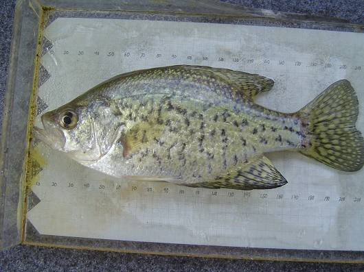 Black crappie, captured in rotary screw trap on the Sacramento River at Knight's Landing on 2/26/2009. Photo by Dan Worth, California Department of Fish and Game.