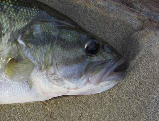Spotted bass (showing maxilla) caught in Lake Berryessa Reservoir in March 2009 by Teejay O'Rear. Photo by Amber Manfree.