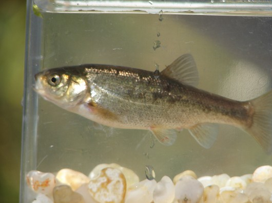 Arroyo chub. Captured from San Antonio Creek (Vandenberg Air Force Base) in 2008. Photo by Carl Page, ARS Consulting.