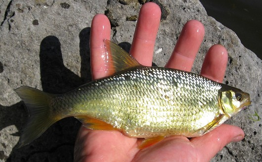 Golden shiner, caught in Iron Gate Reservoir, California on 12 May 2009 by Teejay O'Rear. Photo by Amber Manfree.