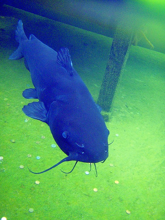Channel catfish. Location: Balboa Park reflecting pond, San Diego, CA, 2009. The fish, estimated to be 10-12 years old, was popular with visitors. It died 24 May 2009, apparently of natural causes. Weight: 10.3 kg (22.7 lb). Photo by Neal Matthews.