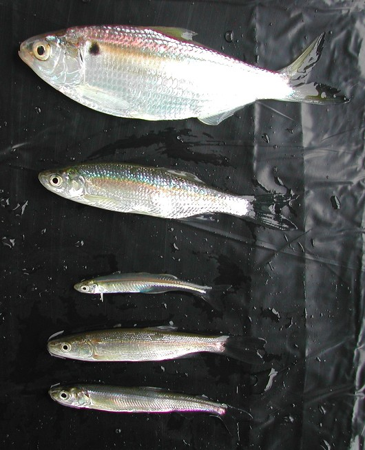 Threadfin shad, shown beside a golden shiner, Mississippi (inland)  silverside, Sacramento pikeminnow, and wakasagi. Photo by Robert Vincik, California Department of Fish and Game.