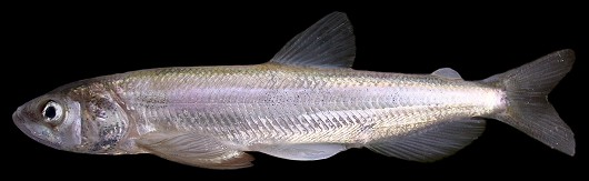 Longfin smelt, male, 141 mm FL. Photographed on March 7, 2008 at the Tracy Fish Collection Facility, Tracy, CA. Photo by René Reyes, US Bureau of Reclamation.