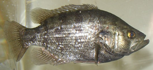 Sacramento perch (probably a breeding male, based on dark color). Captured from Sindicich Lagoon, Martinez, CA in May 2001. SL = 221 mm. Weight = 260 g. Photo by Chris Miller, Contra Costa Mosquito & Vector Control District, CA.