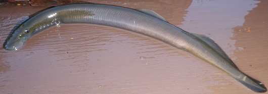 Klamath River lamprey. Captured attached to a brown trout from the upper Trinity River near river mile 85 on 22 July 2009. Total length: 27 cm. Photo courtesy of John Hileman, California Department of Fish and Game.