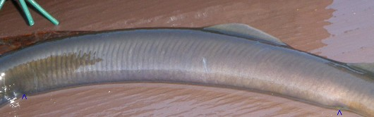 Klamath River lamprey, trunk myomeres. Blue arrows indicate section along which 63 trunk myomeres were counted. Photo courtesy of John Hileman, California Department of Fish and Game. Edited by Lisa Thompson, UC Davis.