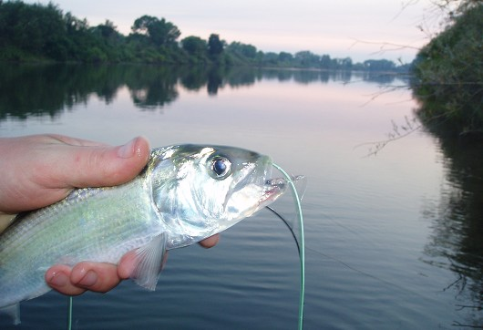 American shad, habitat. Feather River (Star Bend boat launch), 4 July 2008. Photo courtesy of Brian Currier.