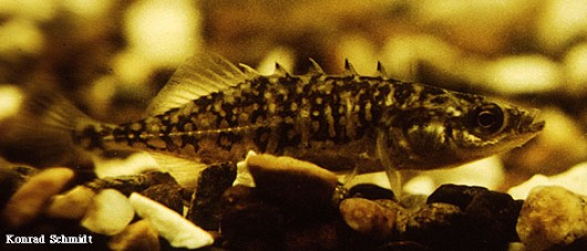 Brook stickleback. Photo by Konrad Schmidt, Nongame Fish Biologist, Division of Ecological Services, Minnesota Department of Natural Resources.