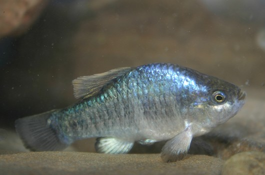 Owens pupfish, male. Location: Fish Slough, CA. Photo by Joe Ferreira, California Department of Fish and Game.