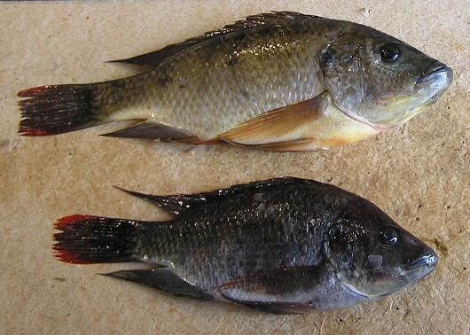 Mozambique tilapia hybrid, female (top) and male (bottom), captured from the Salton Sea in 2006. Photo by Sharon Keeney, California Department of Fish and Game. Note: these are tilapia hybrids (O. mossambicus x O. urolepis hornorum).