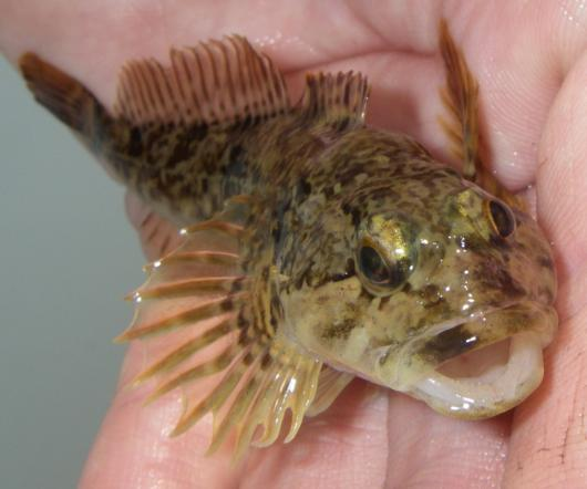 Riffle sculpin, frontal view. Location: South Fork American River. Date: 5 May 2010. Photo by Lisa C. Thompson.