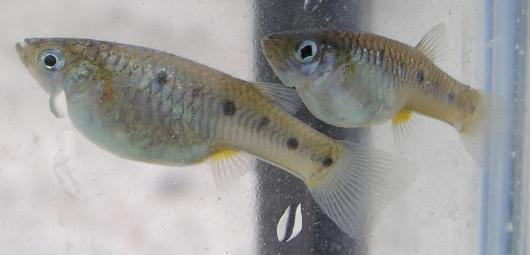 Porthole livebearer, two females. Location: Irrigation drain (Oasis-Grant) at the north end of the Salton Sea. Length: approximately 40 mm TL. Date: 5/20/2010. Photo by Sharon Keeney, California Department of Fish and Game.