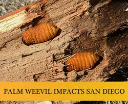 South-American-Palm-Weevil-banner