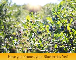 Featured-Stories-blueberries
