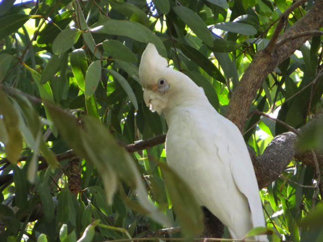 "6/5 – near Kununurra, AU – ""Bonus"" photo of a native white bird that has resides near our camp."