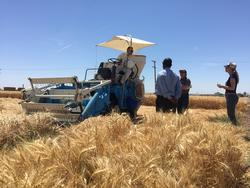 Harvesting_wheat