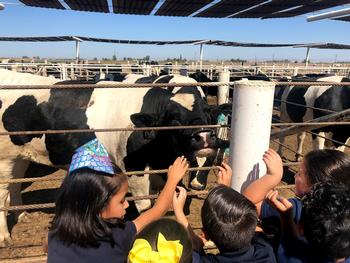 students petting a steer at drec feedlot