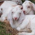 pile of goats