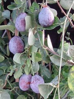Fig. 1. Transgenic plums in the greenhouse.