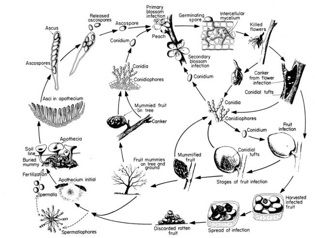 The disease cycle of brown rot of stone fruits (From George  N. Agrios: Plant Pathology, Fourth Edition, 388p)