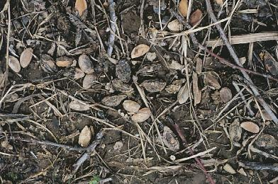 Infected mummies left on the orchard floor could also produce conidia which may cause infections of blossoms and young fruit.