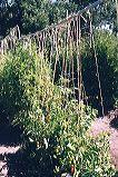 Conduit with vertical string for supporting tomatoes