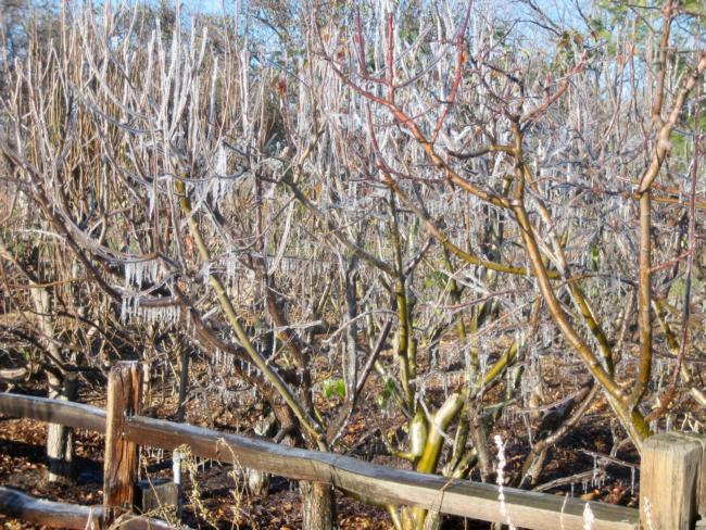 Ice covered fruit trees at Emma Prusch Park in San Jose, caused by burst water pipe during a hard frost in January 2007, by Allen Buchinski