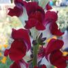 Orn-Snapdragon-Night-and-day-MG-Elizabeth-Evans