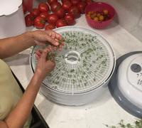Loading French thyme into dehydrator by Brian Okamoto