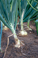 Onions, by <a href='https://www.extension.iastate.edu/news/yard-and-garden-growing-onions'>Iowa State University</a>