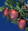 UCANR Apple Harvest