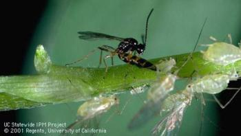 Parasitic wasp depositing an egg into an aphid
