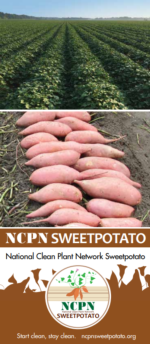 NCPN-Sweetpotato Brochure