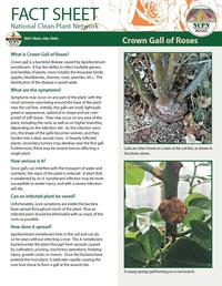 Rose crown gall Thumb