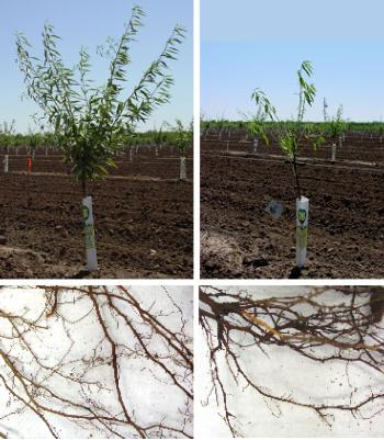 Fig.2. Replant Disease. A healthy tree (left) and a tree showing symptoms of replant disease (right)