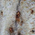 Frass caused by PSHB activity on California sycamore, which also typically responds by staining (Monica Dimson / UC Cooperative Extension)