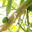 Characteristic sugary exudate on an avocado branch, caused by PSHB activity (Akif Eskalen / UC Riverside)