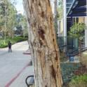 Staining on Fremont cottonwood from PSHB activity (Monica Dimson / UC Cooperative Extension)