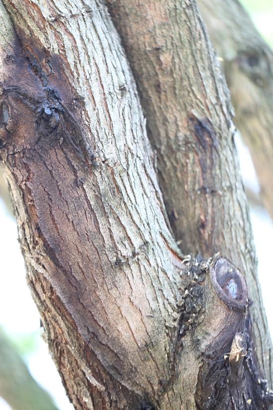 PSHB symptoms on mesquite (Tim Thibault / Huntington Botanical Gardens)